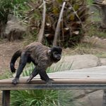 Primate paced for hours