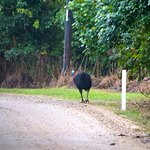 Wild cassowary in the area near the retreat