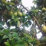 Avocado tree @ The Plantation