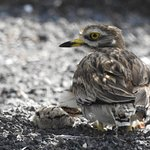 Stone Curlew and chick about 4 metres from Landrover used for tour.