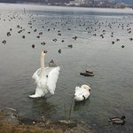 The swans on the lake