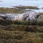 Seal on the beach outside No. 1 Broughton