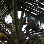 The Toddy collector- collecting the sap from a coconut tree