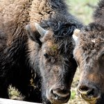 Couple of bison calves