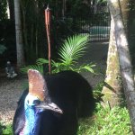 Peanut the cassowary