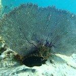 Corail gorgone