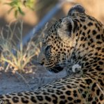 The beautiful but illusive Leopard - Ntombi.