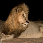 The King Of The Jungle - The African Lion!