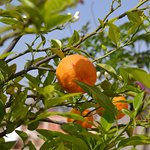 Oranges on the roof terrace
