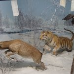 Tiger hunting in a snow