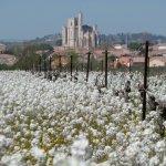 Le printemps dans les vignes.A 5 km en vélo!
