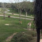 Views from inside and outside our two-bedroom suite! Coffee with the giraffes just off one of ou