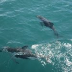 Dolphins from the Boat
