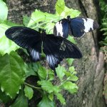 Two butterflies in the conservatory