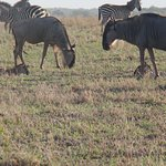 Wildebeest with babies and Zebras. The babies can run with their mothers within minutes of birth