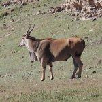 Eland - largest Antelope