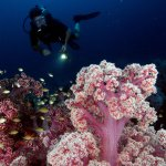 one of our guests exploring deep soft coral garden at Koh Haa Nua