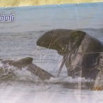poster of the rare dolphin
