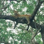 just a Leopard hanging out