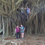 Banyon tree by Rainbow Falls in Hilo