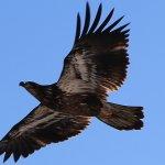 A juvenile eagle near Wabasha, MN. The distinctive white head & tail is on mature eagles.