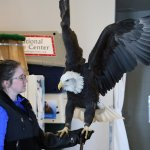This adult eagle had a broken wing, and is no longer able to fly.