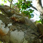This iguana wandered past my bungalow as I was sitting in the hammock!