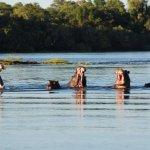 Hippo's in the Zambezi