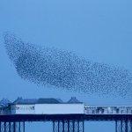 Starling Murmuration over Brighton Pier