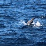 dauphin tacheté