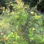 Pomegranate Fruit trees