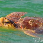 Sea Turtle watching on our 10,000 Islands Eco-Tour is truly one of the many highlights.