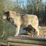 2 beautiful wolves enjoying the sunshine, posing nicely for me
