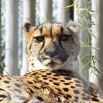 One of the gorgeous cheetah sisters relaxing on a platform