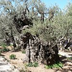 Ancient Olive Tree -Garden of Gethsemane - Jerusalem
