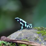 found many frogs - poison dart frog