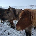 Retired Icelandic Horses / Ponies