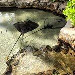 Stingray napping in the pond