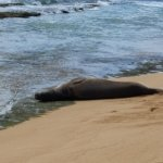 One of the local monk seals that likes the beach at the hotel