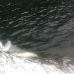 Dolphins by the boat