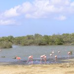 Flamingoes on the Way to Mangrove Information Center