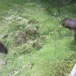 next to my verandah - a Wombat AND a Padymelon