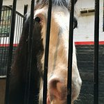 One of the Shire Horses