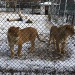 Lion teens