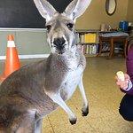 Friendly red kangaroo