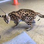 Cuddly serval