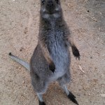 Hungry Wallaby