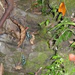 grenouilles venimeuses