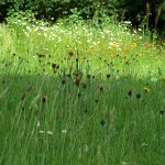 Our Gardens are managed as a species rich hay meadow, such habitats have delcined by 98%