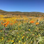 March 2017 at the poppy reserve